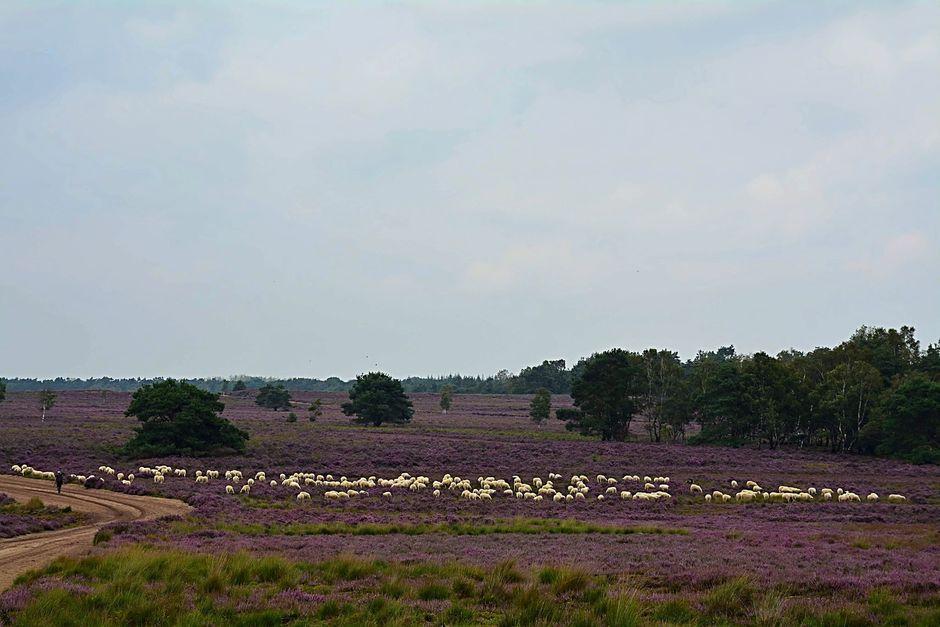Schaapskudde Ermelosche Heide