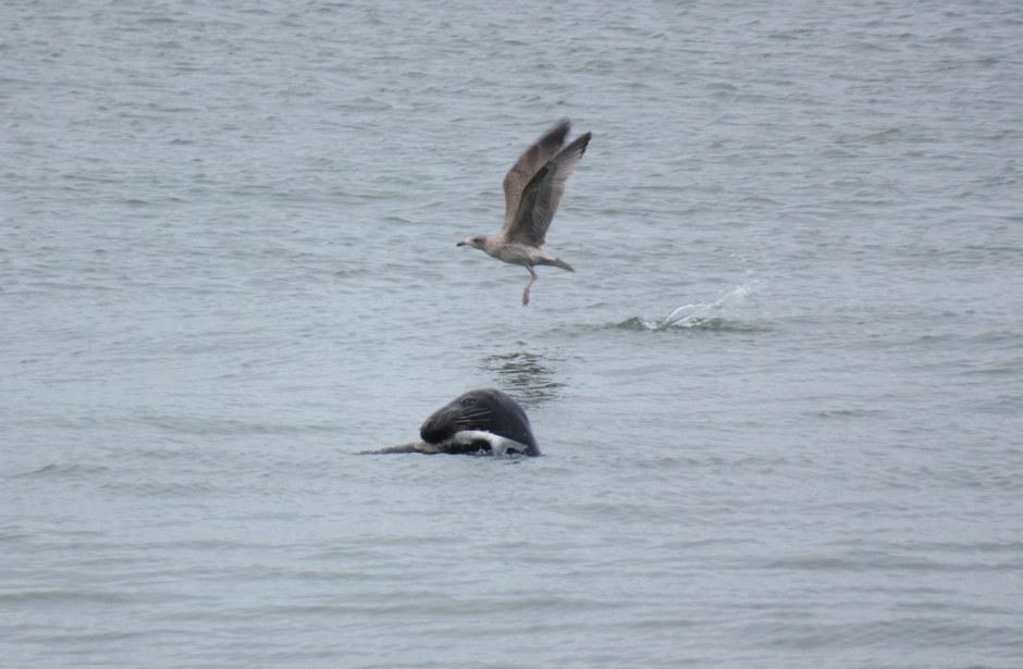 Grote zeehond.