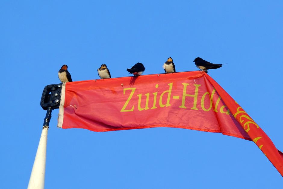 Zuid-Hollandse zwaluwen in de ochtendzon