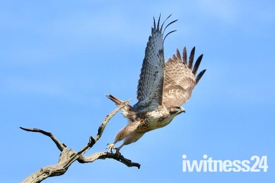 """ Takeoff ""  beautiful buzzard"