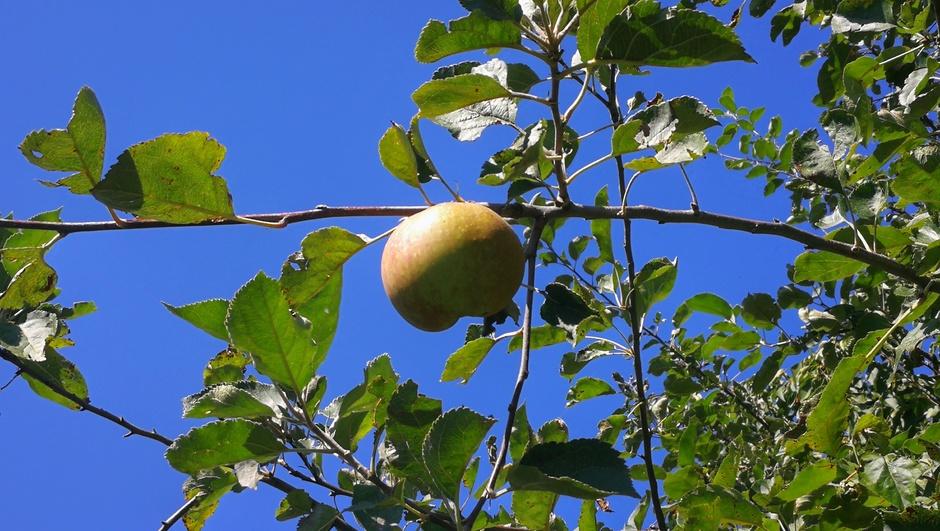 Appels bijna rijp