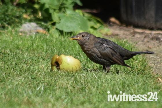Hen Blackbird eating apple.