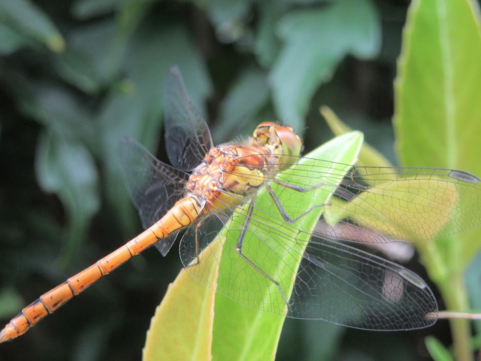 Libelle in de tuin