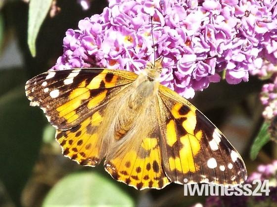 Late Summer Butterflies