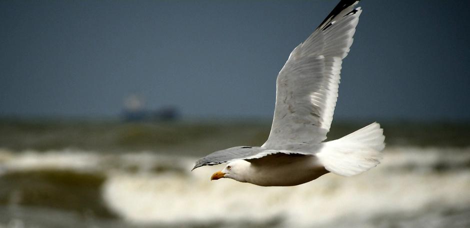 Meeuw vliegt boven zee