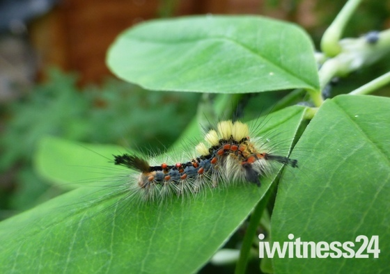 Vaporer moth caterpillar