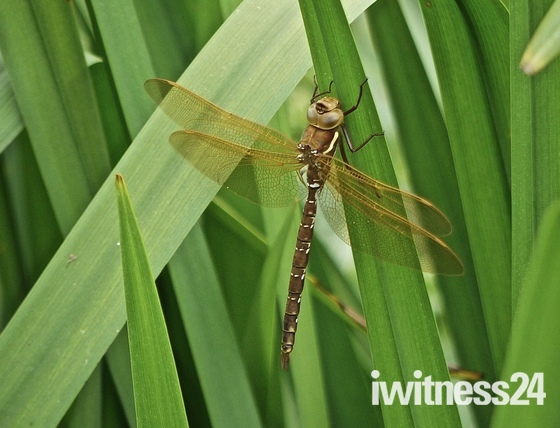 Brown Aeshna dragonfly