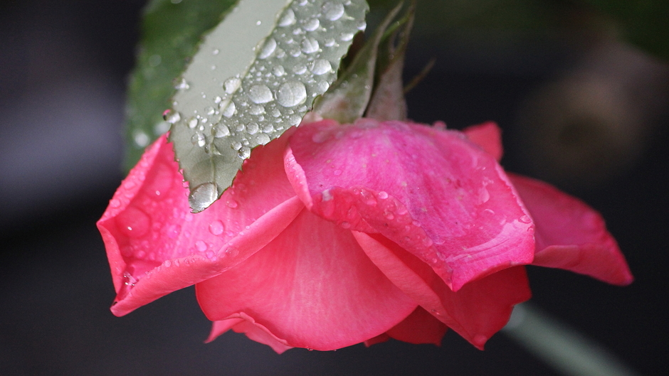Regendruppels op rozen, ...nu weer prachtig weer