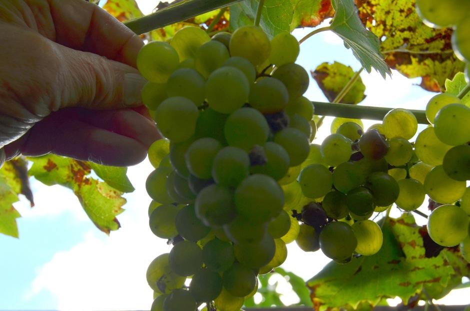 De druiven kunnen geplukt worden!