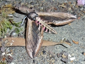 Insects - Privet Hawk Moth