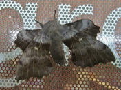 Insects - Giant Moth