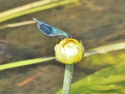 Insects - Common Blue Damsefly