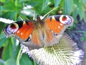 Insects - Peacock Butterfly