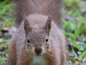Boo! A startled Red Squirrel