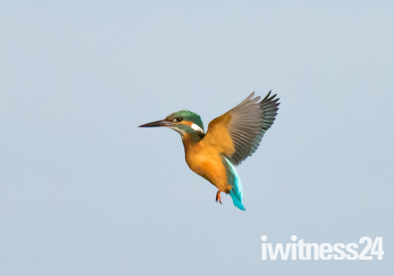 Kingfisher at Strumpshaw Fen