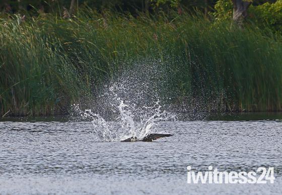 Osprey Norfolk Broads