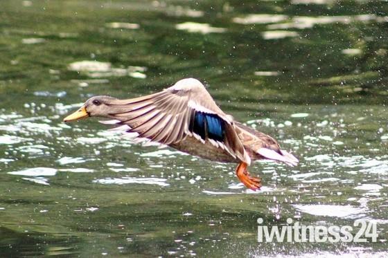 Duck on landing
