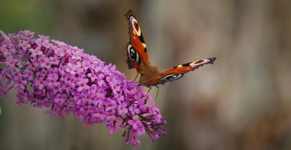 Voor het intreden van de Herfst word er nog vol op gefladderd door de vlinders. De Dagpauwoog