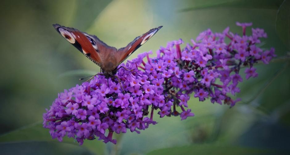 Mede door het warme Na-Zomer Weer nog veel vlinders. Vandaag deze Dagpauwoog in het zonnetje