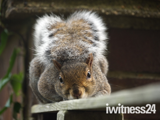The Squirrel with the Fringe on Top