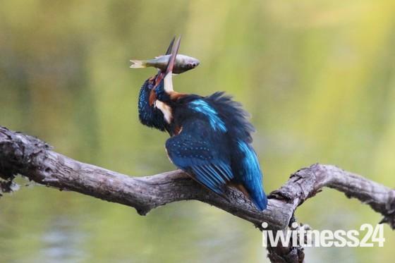 Kingfishers in Waveney/Suffolk