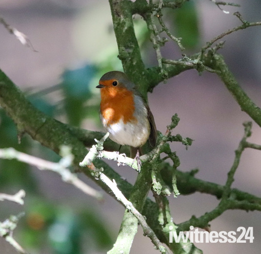 Beautiful vibrant robin