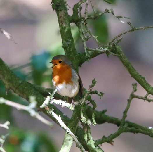 Beautiful vibrant robin
