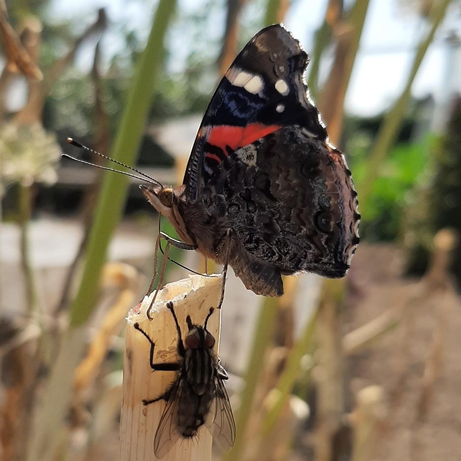 Vlieg plaagt Atlantavlinder omdat ze beide hetzelfde plekje in de zon wilde hebben.