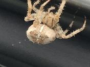 Huge garden spider