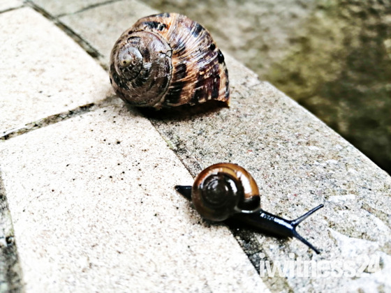 Mini Scale Snail