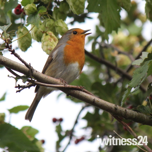 Robin giving its all