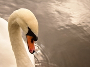 Charming Swan