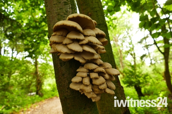 FUNGI GROWING ON THE SHADED SIDE OF A TREE TRUNK