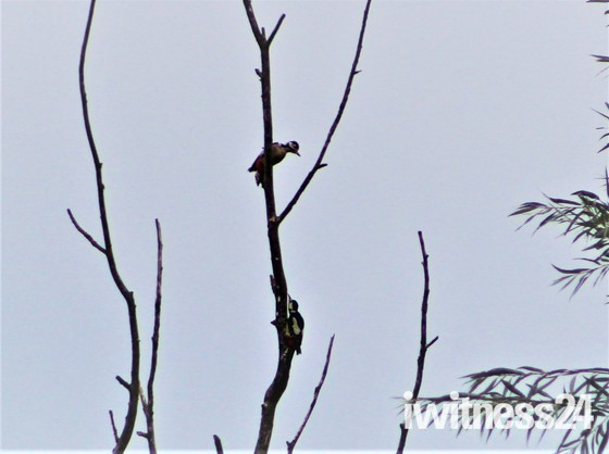 Two spotted woodpeckers