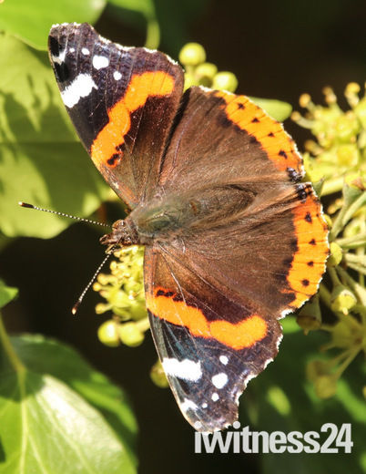 Red admiral butterflies