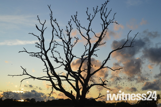The Starlings tree