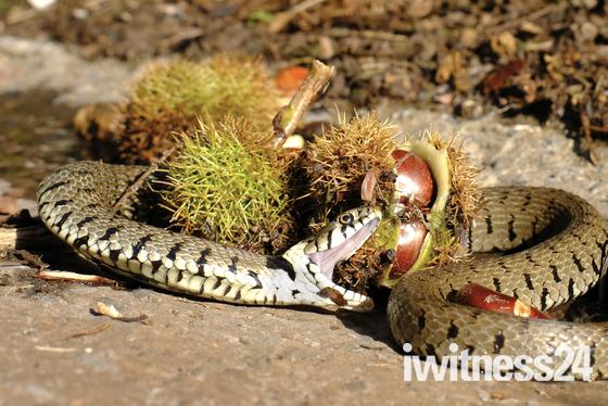 Grass Snake Harvesting!