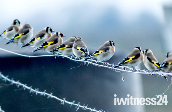Waiting for the sun. Goldfinches in the rain.