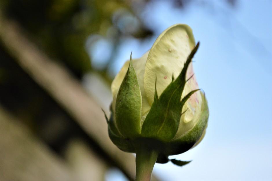 Late witte roos in de herfst.
