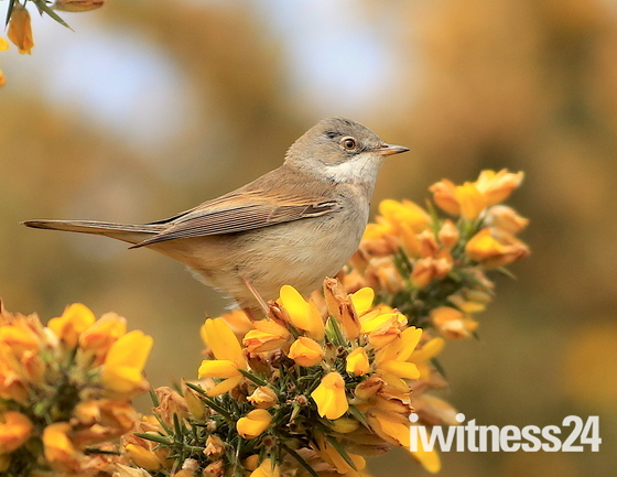 A beautiful White throat in the orange flowers.