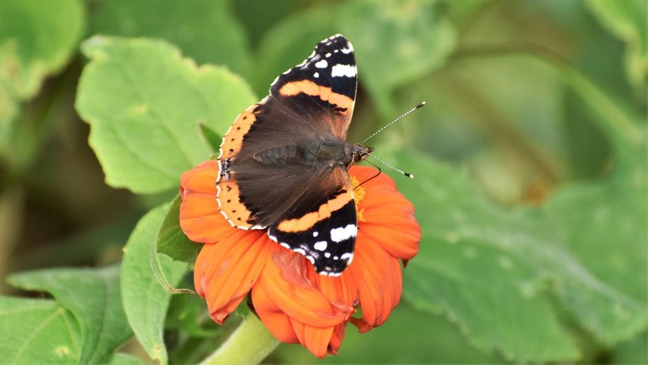 Nog best veel vlinders gezien vandaag 25 oktober