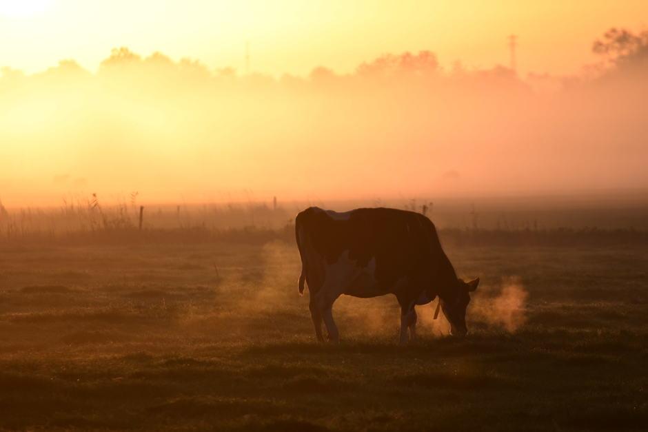 Koe in de mist bij zonsopkomst.