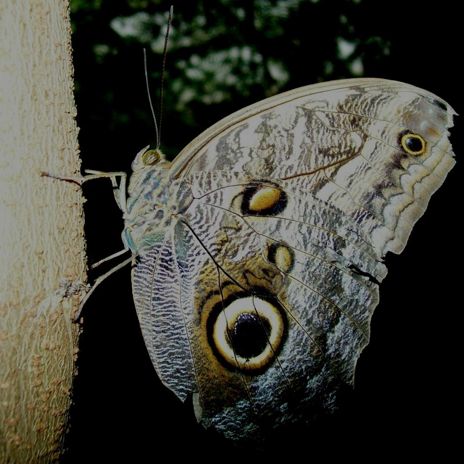 Caligo Memnon vlinder