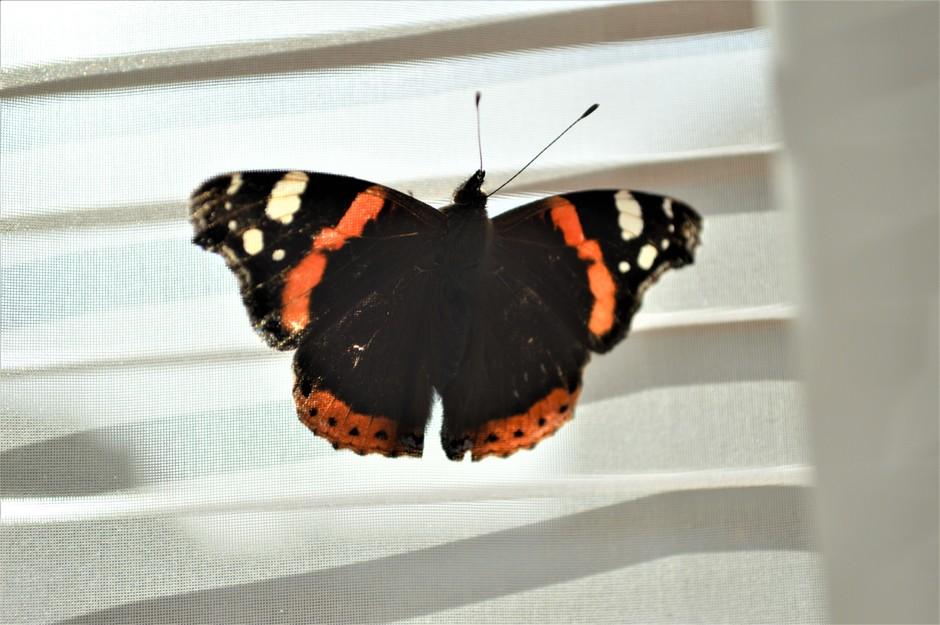 Atalanta vliegt naar binnen en geniet van de zonnewarmte.