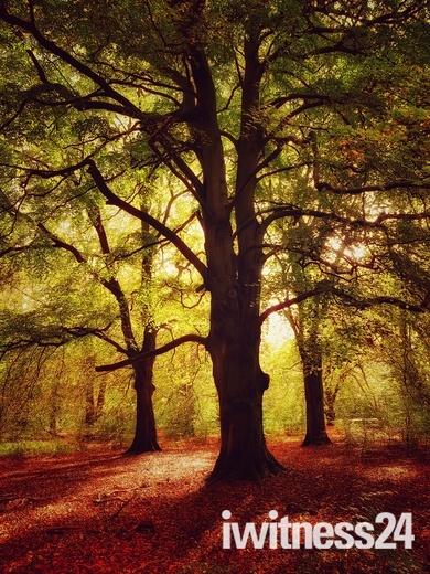 Autumn glow in Thetford forest
