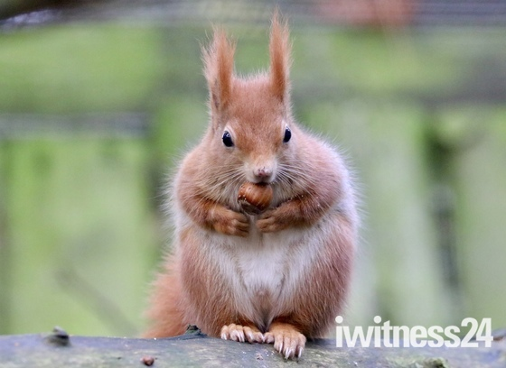 Don't you just love a red squirrel!