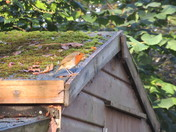 A robin on a shed roof