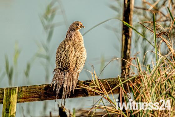 Hen pheasant soaking up the last rays of the autumn sun - Sculthorpe Moor