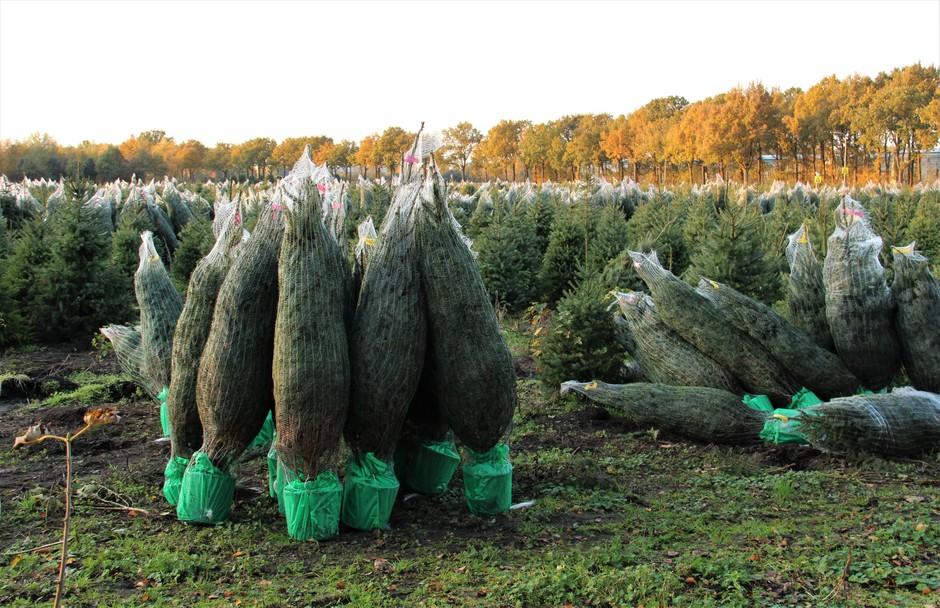 Kerstbomen zijn er klaar voor