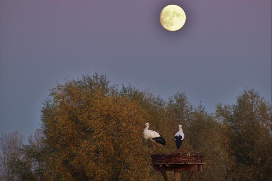 Na een prachtige dag hebben de ooievaars hun slaapplaats weer ingenomen onder de maan om morgen vroeg weer op te staan.